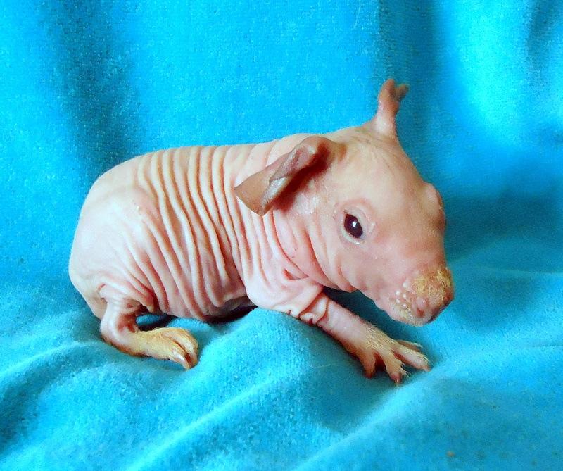 Морская свинка скинни (30 фото): описание породы. сколько живут лысые грызуны в домашних условиях? уход и содержание. чем кормить?