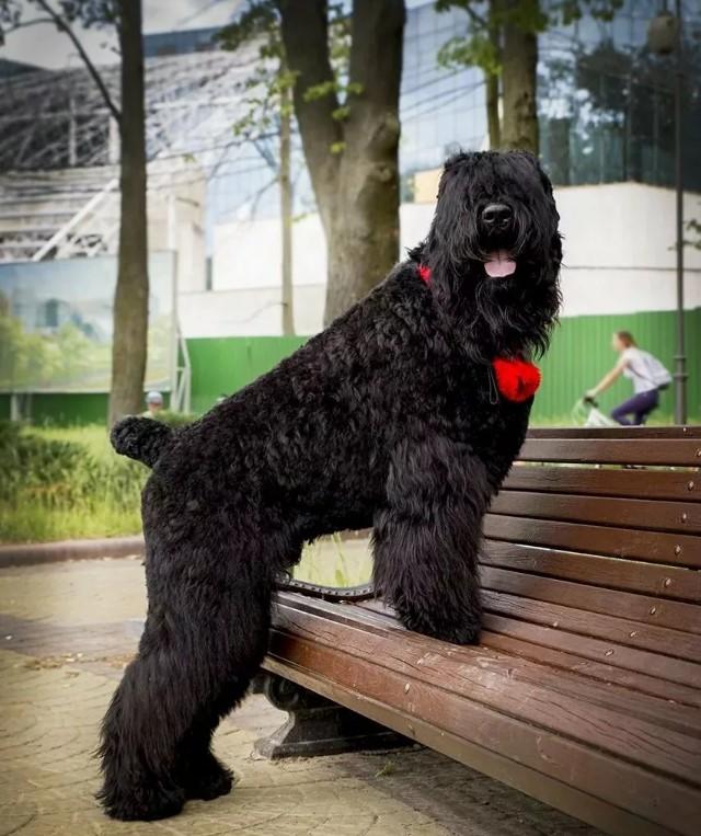 Русский черный терьер — русская служебная порода собак: описание породы и фото