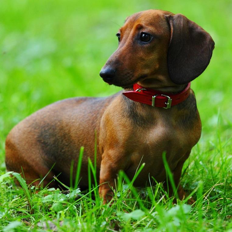 Таксы — все о породе собаки, происхождение, описание породы, плюсы и минусы, виды такс