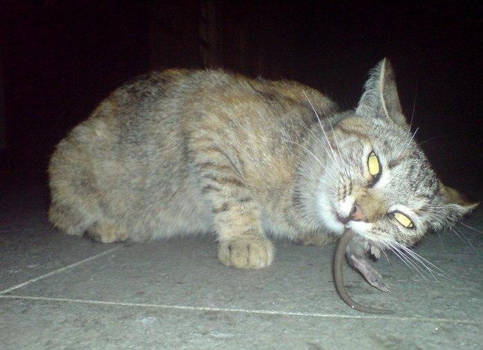 Кошки-крысоловы: породы и их особенности, характер: выбираем друга и охотника +видео и фото