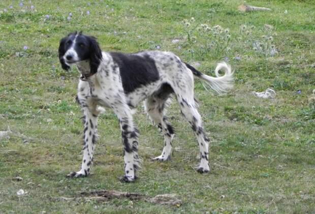 Тайган (киргизская борзая) — фото и описание породы собак