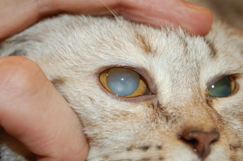 У кошки кровь в глазу - симптомы, причины и лечение