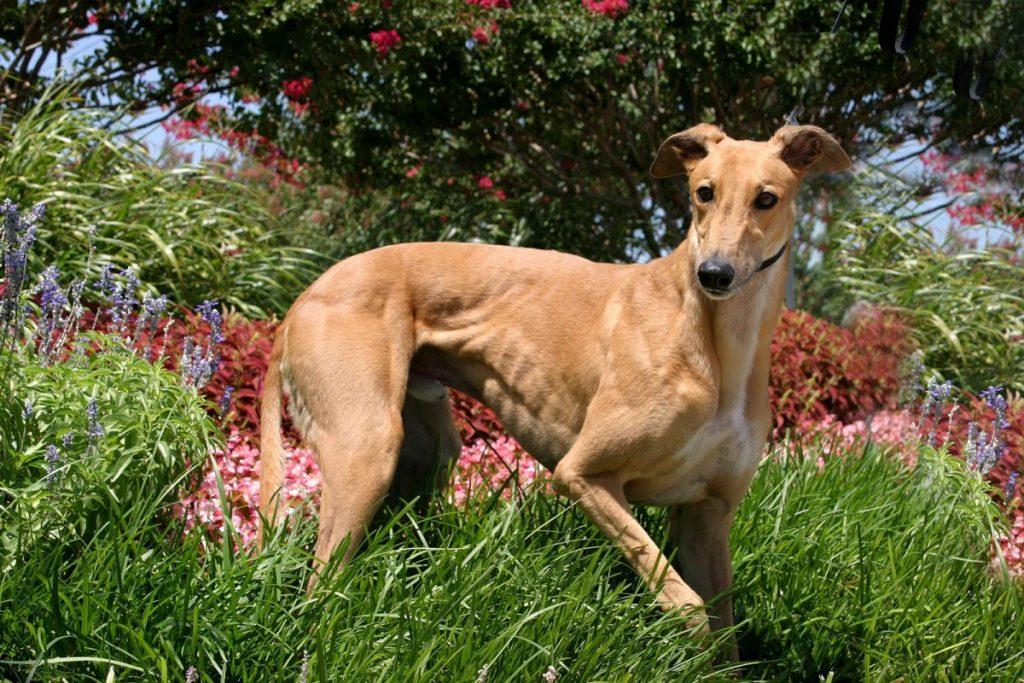 Грейхаунд: история породы, характер, уход - новости о собаках