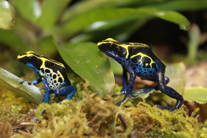 Древолаз (лягушка) – описание, фото, виды, где обитают, что едят