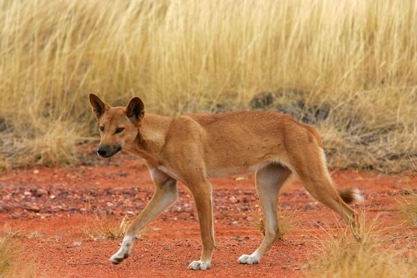Австралийская собака динго: физические данные, питание, история