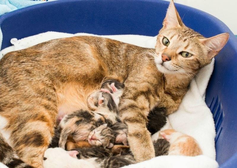 Сколько по времени рожает кошка