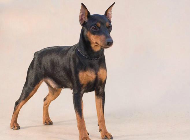 Цвергпинчер — описание породы, отзывы владельцев, «за» и «против» покупки щенка