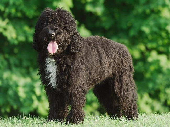 Барбет: собака, фото, характеристика