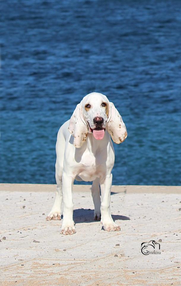 Испанская водяная собака: описание породы, особенности содержания и ухода, нюансы воспитания, цена, полезные фото и отзывы