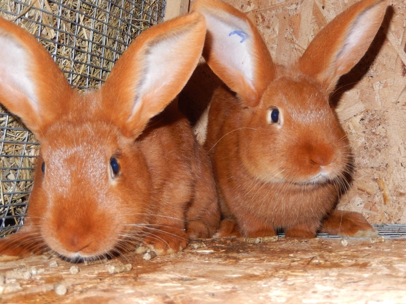 Новозеландские кролики: разведение, фото и отзывы. белый новозеландский кролик