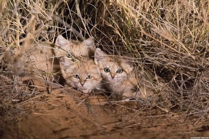 Песчаный кот (барханная песчаная кошка). ареал обитания, интересные факты