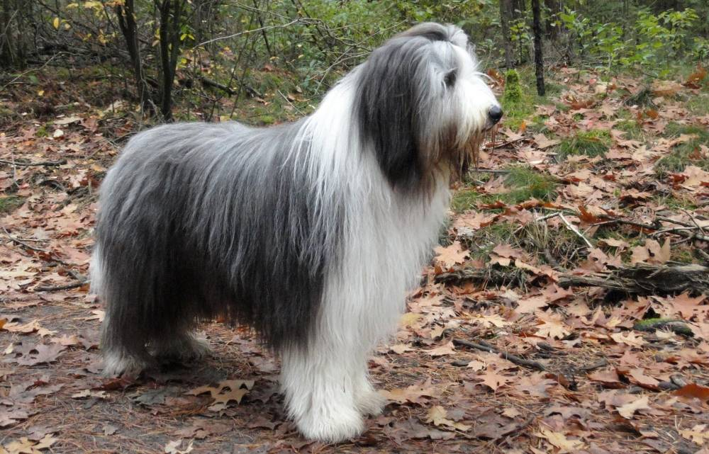 Характеристика собак породы бородатый колли с отзывами и фото