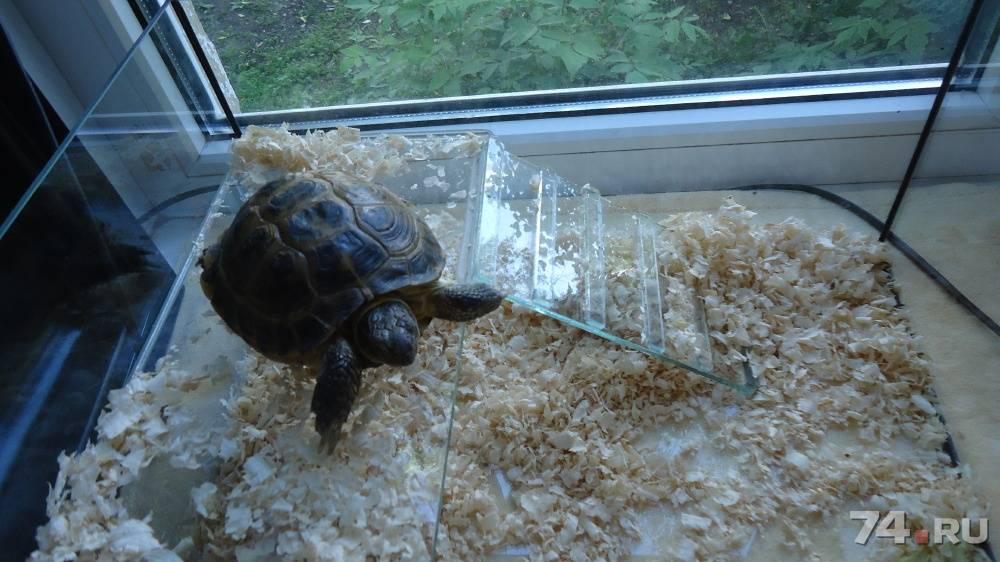Сухопутная черепаха в домашних условиях