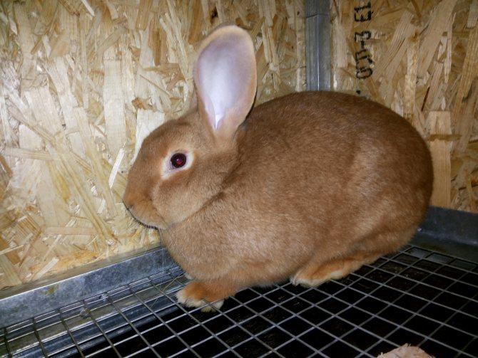 Кролики породы венский голубой — характеристика, уход и содержание, разведение в россии.   cельхозпортал