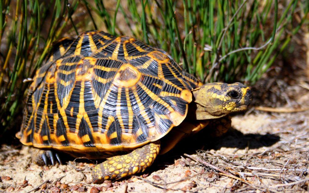 Звёздчатая черепаха