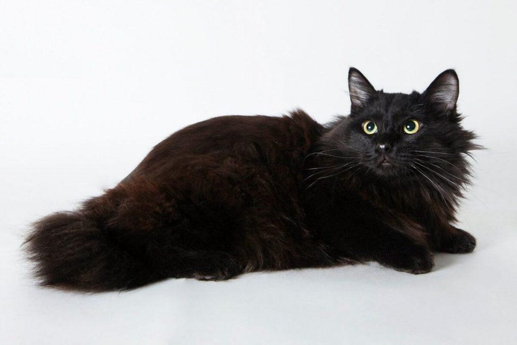 Кошка шантильи тиффани: история породы, советы по уходу и фото