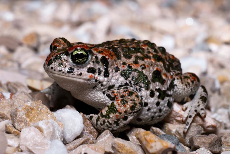 Земляная жаба. описание, особенности, виды и среда обитания земляной жабы