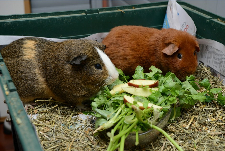 ᐉ какую траву можно давать морским свинкам: таблица разрешенных растений - zoopalitra-spb.ru