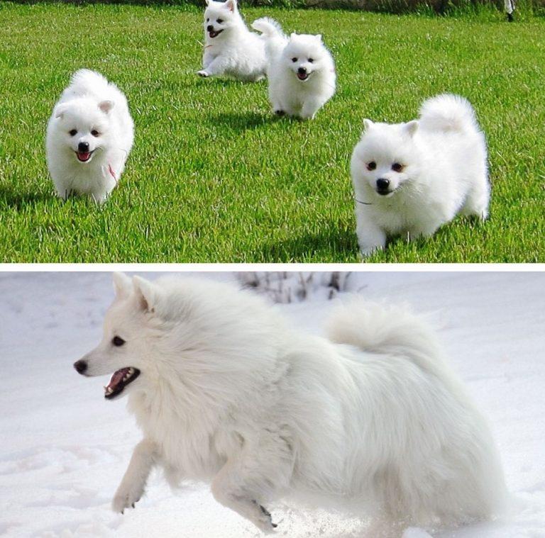 Японский шпиц — собака удивительной красоты и доброго, уживчивого нрава