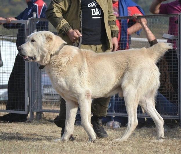 Кавказская овчарка (77 фото): характеристика щенков «кавказцев», характер собак породы кавказский волкодав и описание белого окраса, вес, отзывы