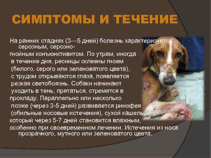 Лептоспироз - желтуха, штутгартская болезнь (вайля-васильева) - описание и симптомы заболевания.