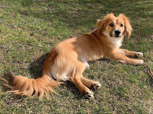 Алопекис: характеристики породы собаки, фото, характер, правила ухода и содержания