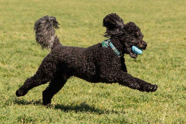 Гладкошерстные маленькие собаки: топ пород с описание (фото)