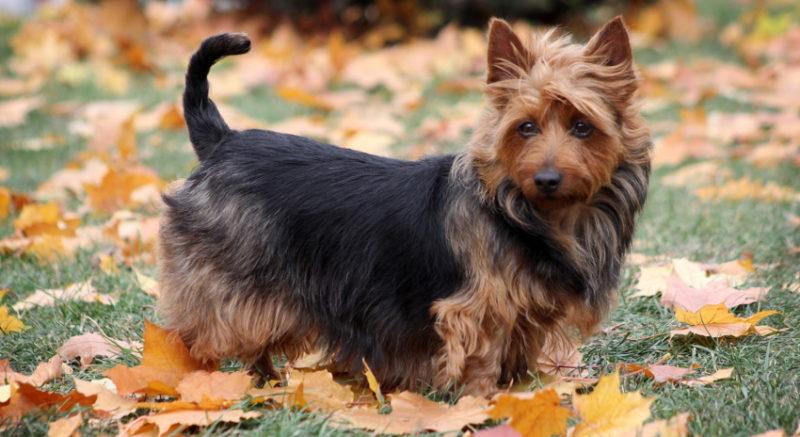 Австралийский терьер: описание породы собак с фото и видео