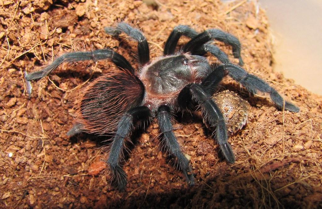 Мексиканский паук-птицеед брахипельма смити
