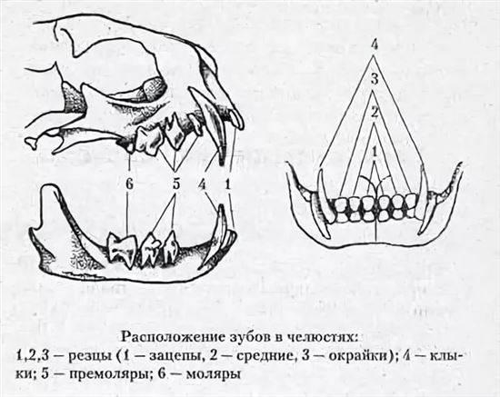 Сколько зубов у взрослой кошки или кота