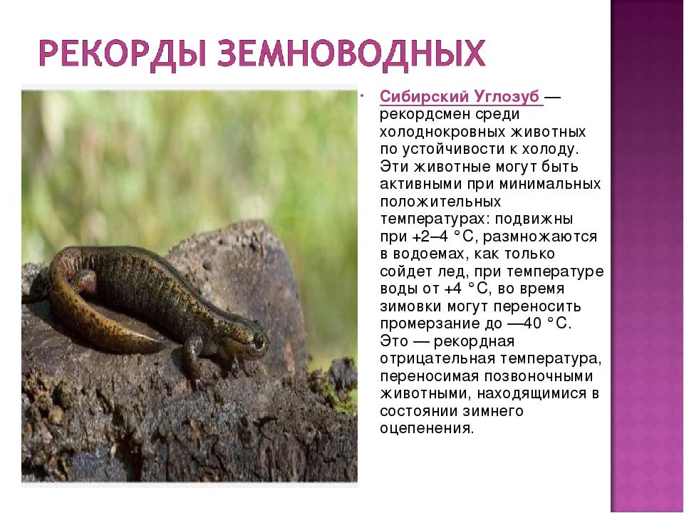 Гребенчатый тритон   мир животных и растений