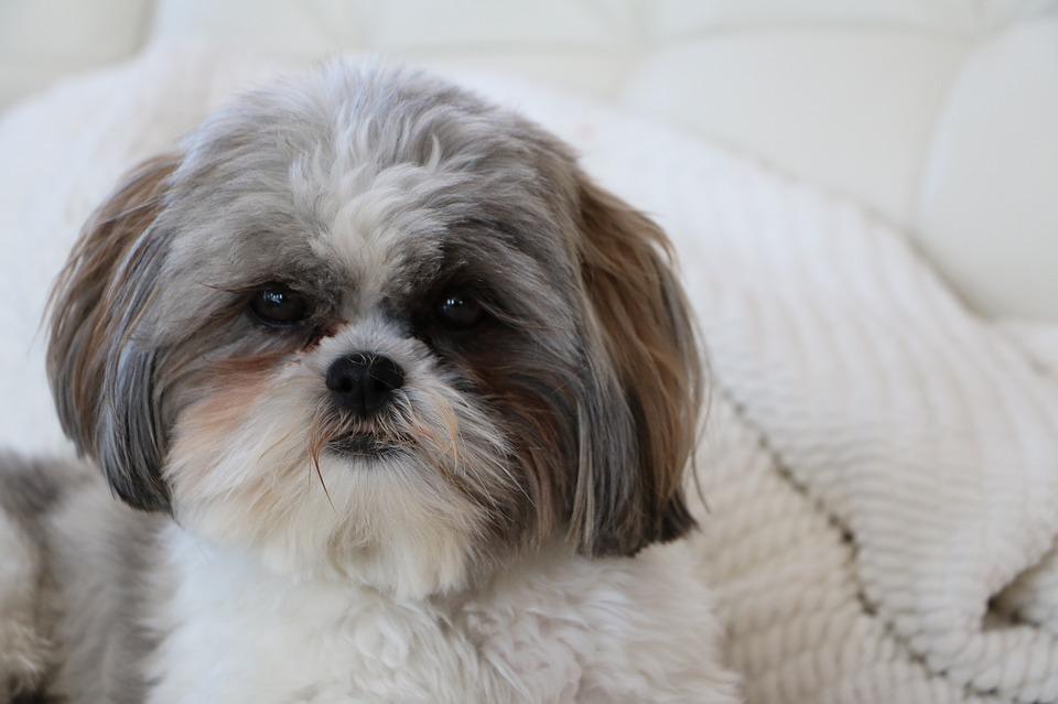 Порода собак ши-тцу: характер, описание породы, сколько живут, размер, вес, отзывы владельцев