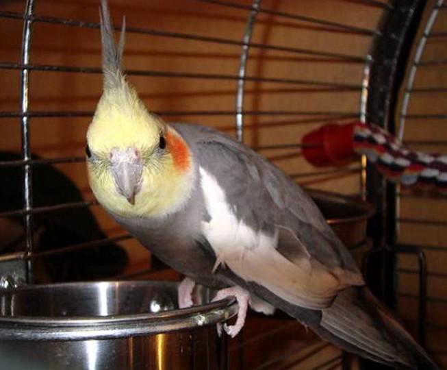 Белый попугай с хохолком корелла: уход и питание, содержание