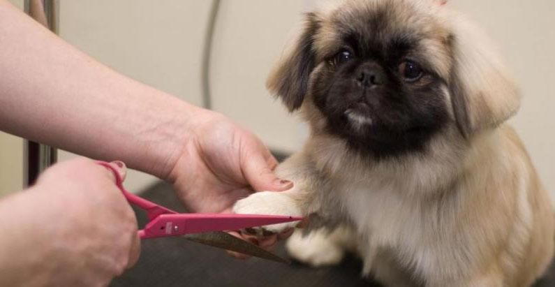 Пекинесы: описание породы, уход, питание, можно ли стричь собак
