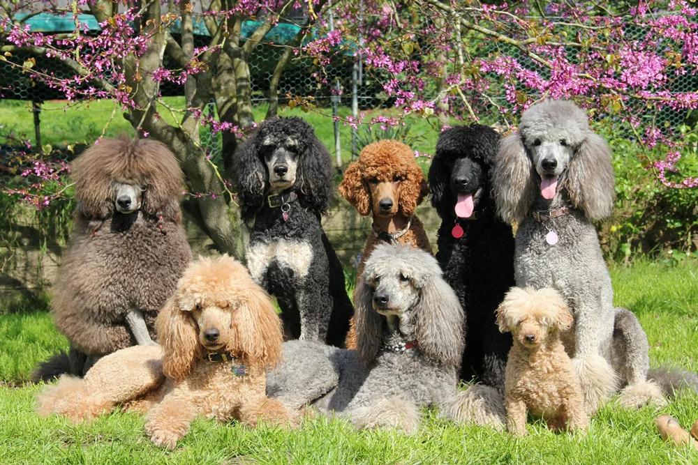 Порода собак маленькая черная кудрявая собака