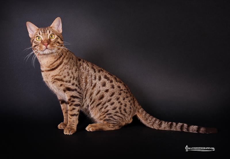 Кошка оцикет: описание породы, цена, фото и видео, где купить, отзывы владельцев