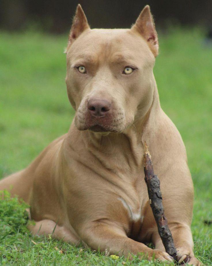 Бойцовские породы собак: список с фото