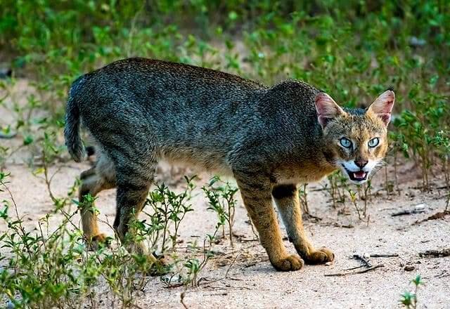 Описание и характер камышового кота
