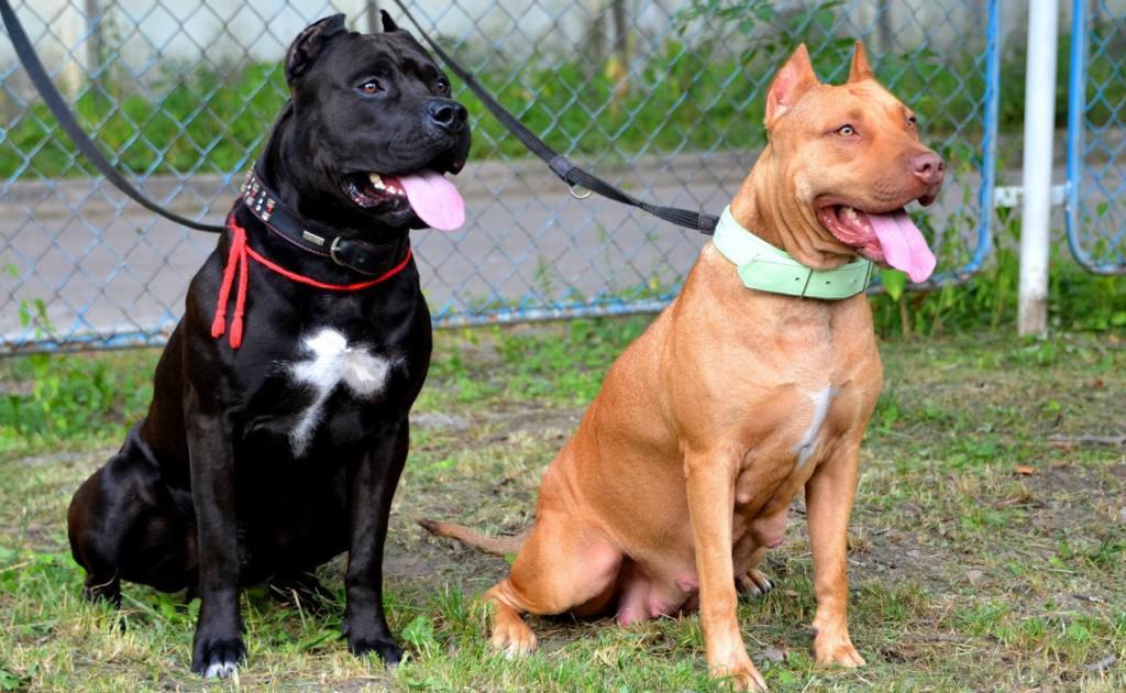 Бойцовские породы собак: обзор, название, описание (+ фото)