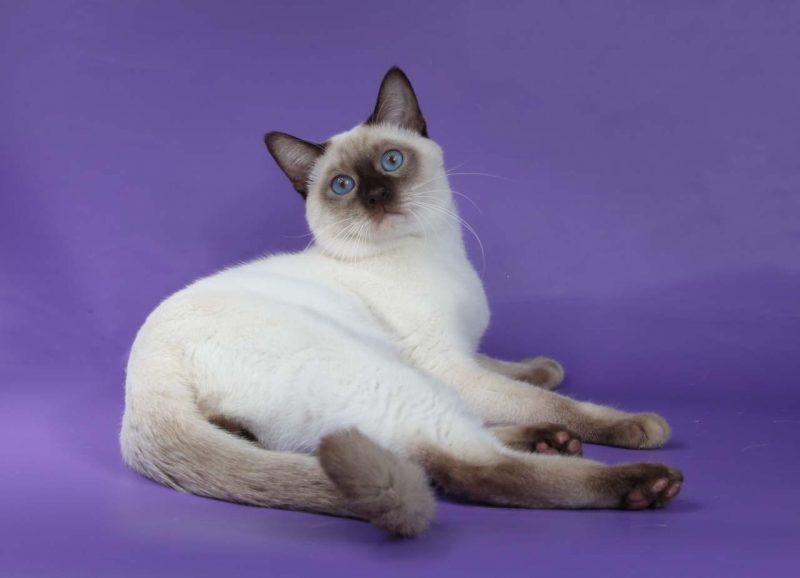 Тайская кошка : содержание дома, фото, купить, видео, цена