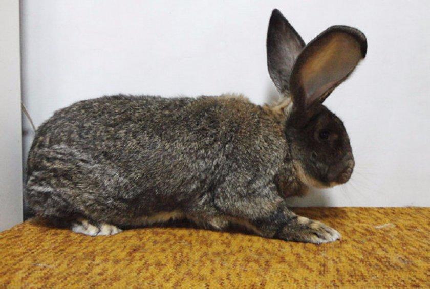 Кролик фландр: описание породы, правила содержания и кормления
