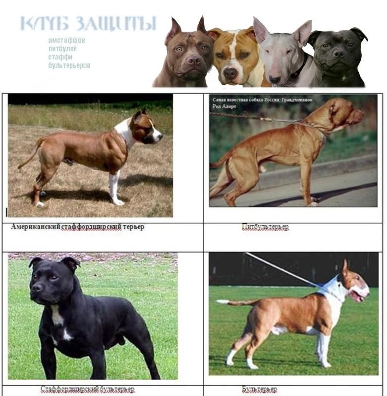 Какая собака сильнее питбуль или стаффорд. в чём отличие питбуля от стаффорда