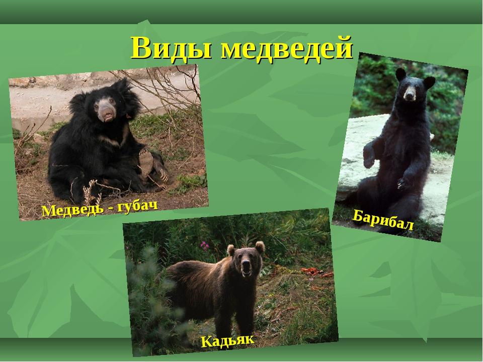 Медведь - где живет, чем питается, виды, сколько живет, фото