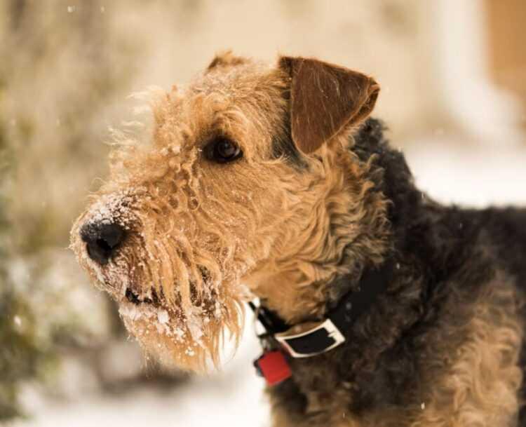 Эрдельтерьер фото, описание породы собаки электроника, цена щенка, отзывы