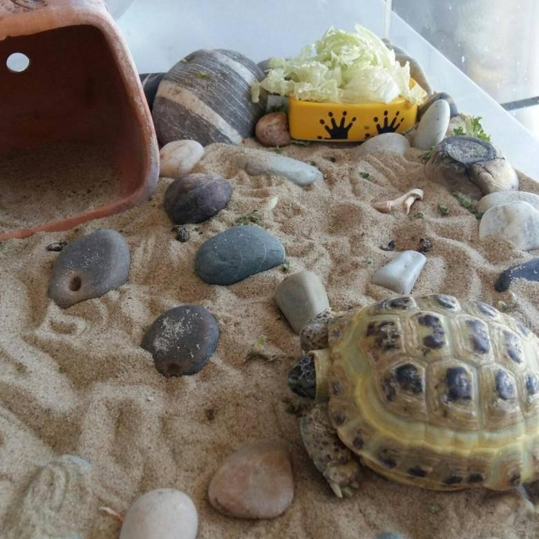 Как поить сухопутную черепаху в домашних условиях и нужно ли