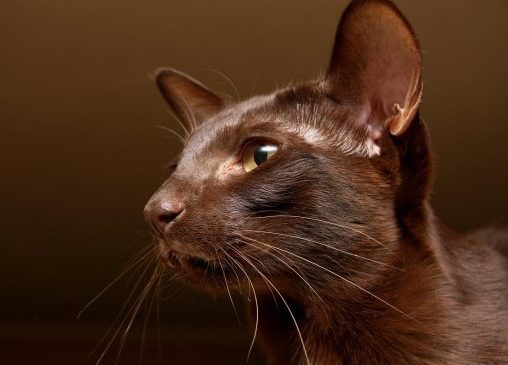 Гавана кошка — порода гаванских котов браун