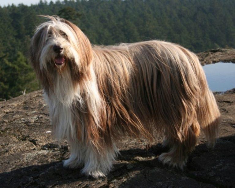 Бородатый колли - лохматый пастух из шотландии. описание породы и рекомендации по содержанию и уходу