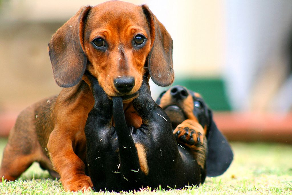 Карликовая такса (50 фото): размеры взрослой собаки, миниатюрная, гладкошерстная, жесткошерстная, длинношерстная, мини щенок тигрового окраса