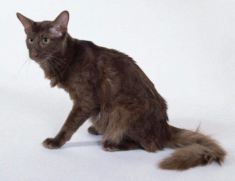 Яванез или яванская кошка — описание пород котов