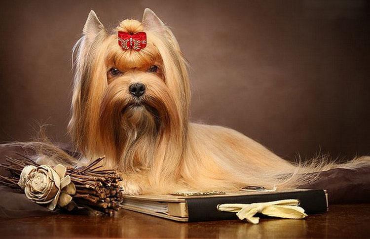 ⓘ русская салонная собака - порода декоративных собак, авторская декоративная порода, выведенная на основе йоркширского терьера, ши-тцу и длинношёрстного той-терь ..